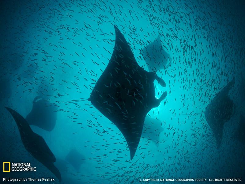 Manta Rays, Hanifaru Bay, Maldives