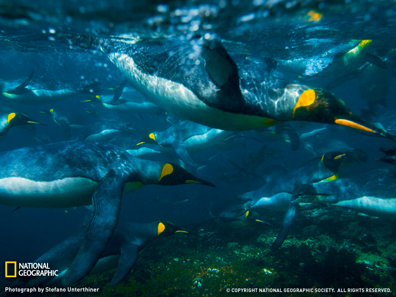 40 king penguins swimming 27 Striking High Resolution Photography<br /> Wallpapers From National Geographic