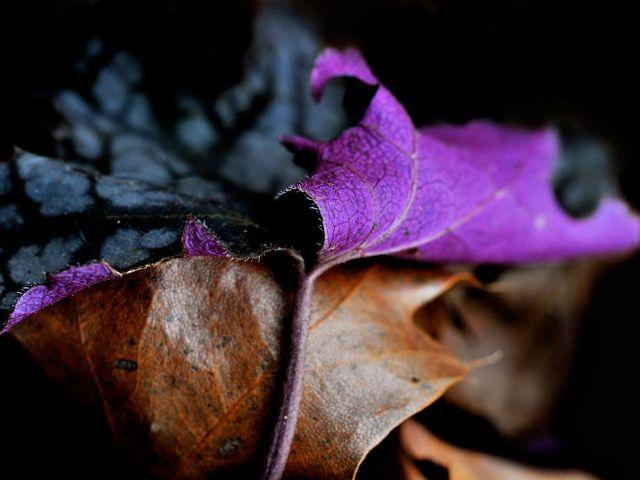 Purple Leaf, Vancouver