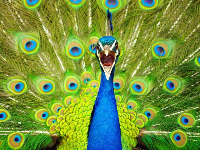 Peacock 27 Striking High Resolution Photography Wallpapers From<br /> National Geographic