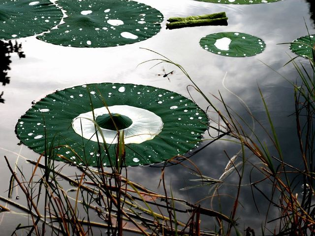 Lily Pads, Venetian Gardens