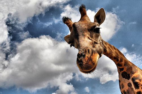 animal photography giraffe 30 Beautiful Examples of Animal  Photography