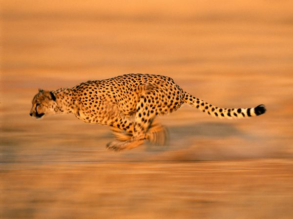 cheetah run 494 600x450 30 Beautiful Examples of Animal  Photography