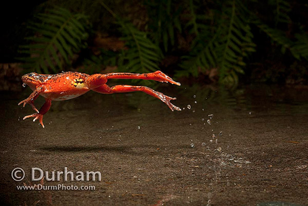 frog leap 30 Impressive Examples of High Speed Photography