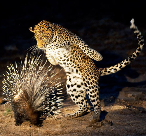 leopard porcupine animal photography 30 Beautiful Examples of  Animal Photography