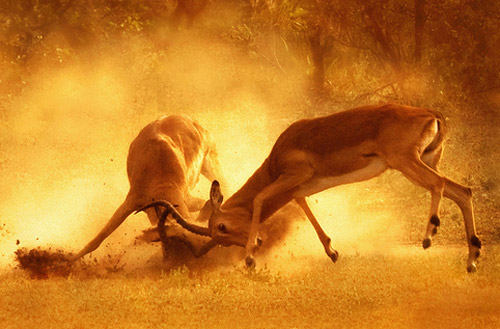 stag fight animal photography 30 Beautiful Examples of Animal  Photography